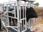 Весы КРС для животных.