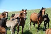 Продам предлагаю Горно-Алтайских,  Катон-Карагайских лошадей