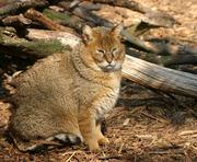 Камышового кота Куплю