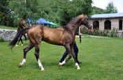 Племенные ахалтекинские лошади