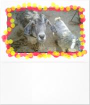коза цветная молочная