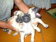 продаются щенки бульматифа от чемпиона Узбекистана