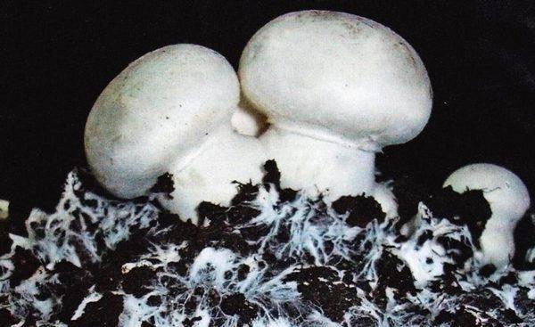 Мицелий шампиньонов своими руками