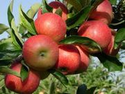 Яблоки из Молдовы оптом по самым низким ценам