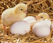Инкубационное яйцо (бройлер) ROSS 308