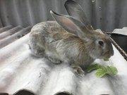 кролик великан окрас агути